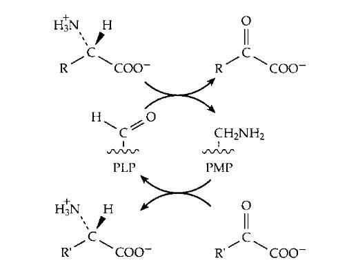 The transamination reaction by which amino groups are transferred from one carbon skeleton (in the form of an a oxoacid) to another to form or to degrade an amino acid.