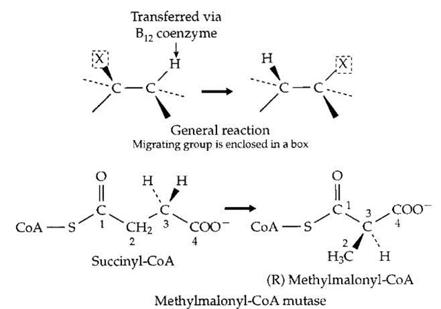 A family of rearrangement reactions that depend upon free radical formation involving an enzyme-bound form of the vitamin B12 coenzyme 5' -deoxyadenosylcobalamin (Fig. 7). The rearrangement of (R ) methylmalonyl-CoA to succinyl-CoA (the opposite of the reaction shown here) is one of the two essential vitamin B12-dependent reactions in the human body, and plays an important role in fatty acid oxidation, as is indicated in Fig. 12.