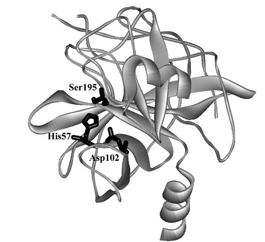 The crystal structure of a-chymotrypsin showing the catalytic triad of amino acid side chains.