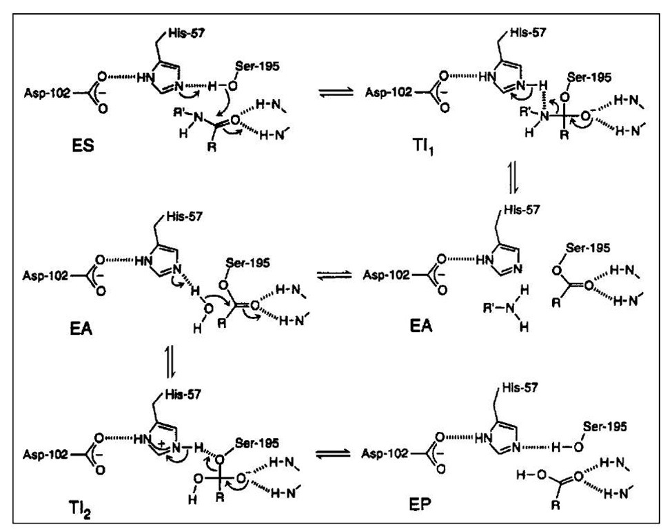 The mechanism of amide hydrolysis by a-chymotrypsin.