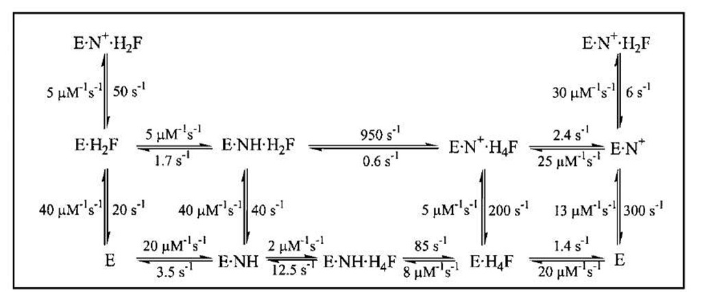 The kinetic scheme for conversion of H2F to H4F by DHFR, including the rate constants for each step at 25°C. In this scheme, NH represents NADPH and N+ represents NADP+.