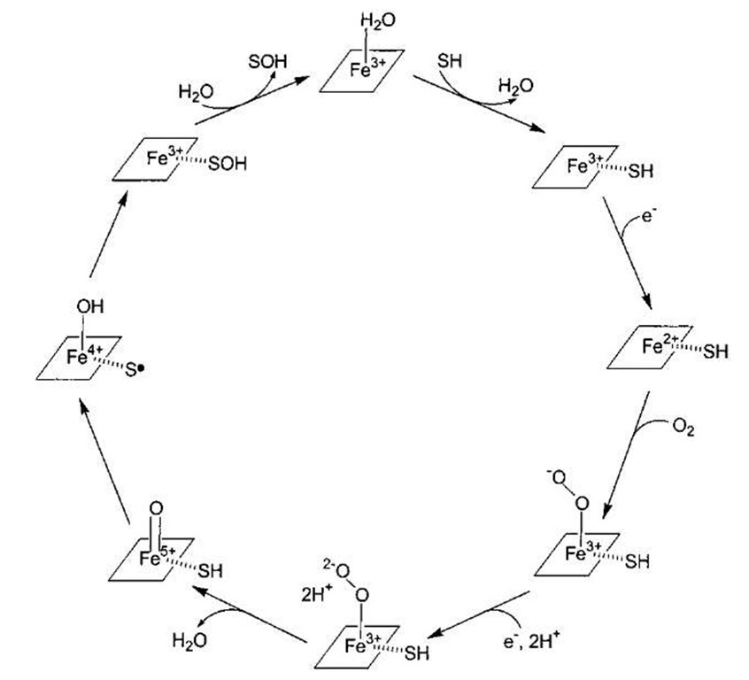 of the catalytic cycle of