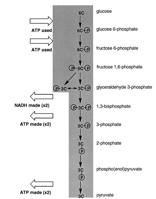 A view of glycolysis. Glucose, a six-carbon sugar, is cleaved and oxidized to two molecules of pyruvate. There is the net synthesis of two ATP per glucose oxidized and two NADH are also formed.