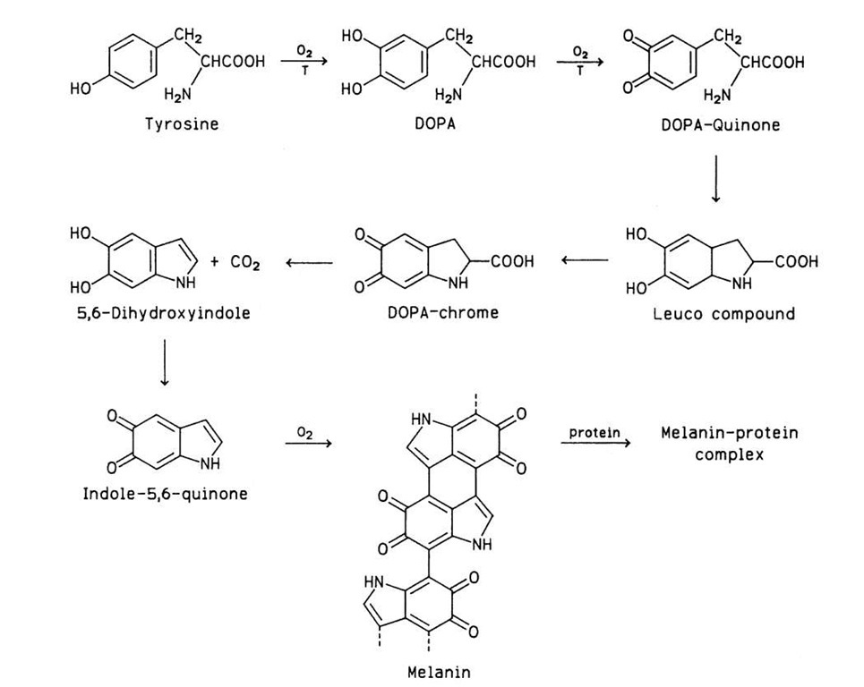 Conversion of tyrosine to melanin, catalyzed in part by tyrosinase (T). DOPA, Dihydroxyphenylalanine.