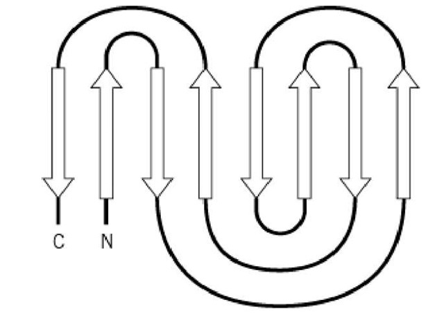 Schematic representation of the topology of the jelly roll motif in proteins, with individual b-strands of the b-sheet depicted as arrows. The N- and C-termini of the motif are labeled.