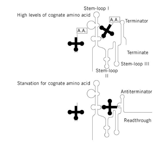 """Model for antitermination control by tRNA. Under conditions with adequate levels of the cognate amino acid (aa), the charged tRNA does not interact with the leader region, and the terminator forms. Under conditions of starvation for the appropriate amino acid, the uncharged tRNA interacts with the leader region via base-pairing between the anticodon and the specifier sequence, and by base-pairing between the CCA sequence at the acceptor end of the tRNA with the side bulge of the antiterminator in the leader. These interactions stabilize formation of the antiterminator conformation of the leader transcript, resulting in induction of expression of the gene. The tRNA is shown as the shaded cloverleaf structure, and a boxed """"A.A."""" attached to the tRNA indicates it is aminoacylated."""