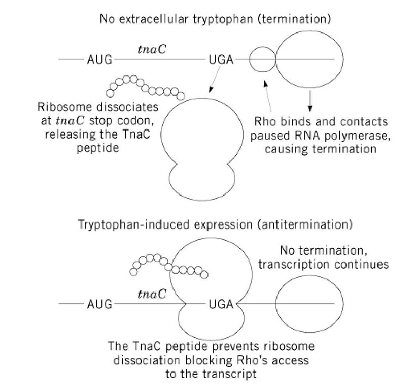 Model of E. coli tna operon regulation. Under noninducing conditions (no extracellular tryptophan), ribosome dissociation at the tnaC stop codon exposes a rut site, allowing Rho binding. Rho translocates to the paused RNA polymerase, leading to transcription termination. Under inducing conditions (extracellular tryptophan), ribosome stalling at the tnaC stop codon prevents Rho association, leading to transcription readthrough.