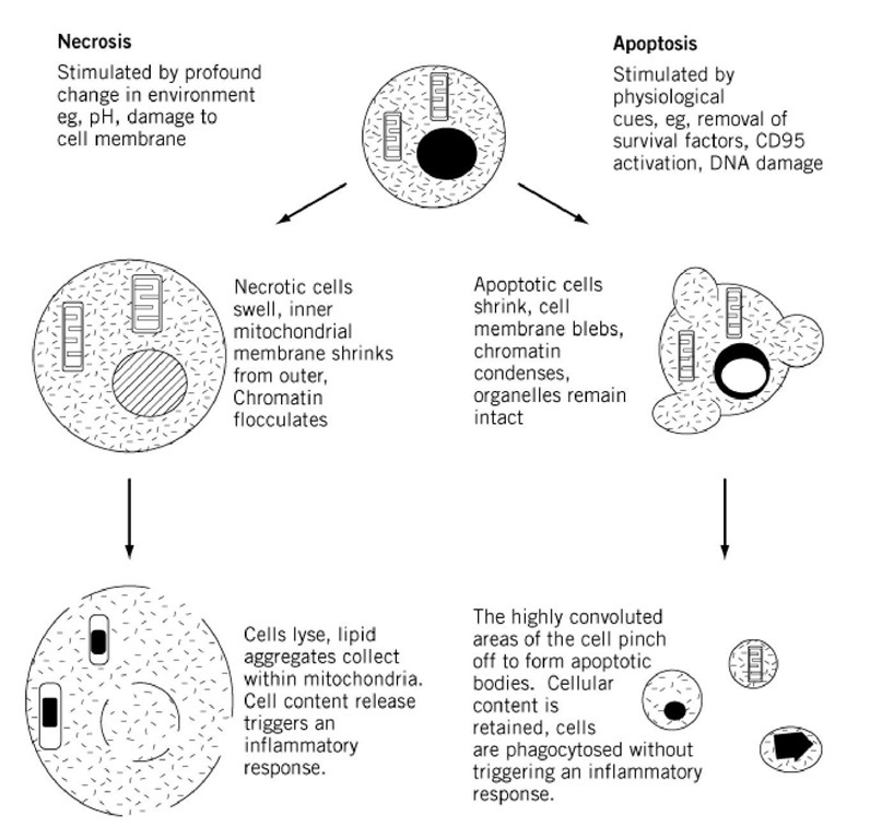 comparison of necrosis and apoptosis essay Apoptosis marker guide apoptosis occurs via a complex signaling cascade the image below shows the main parameters of apoptosis and the approximate glutathione assays other assay methods are used to assay necrosis, anoikis and autophagy.