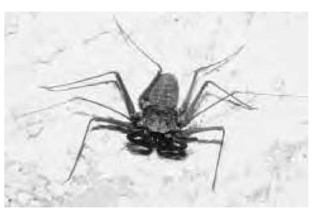A tailless whip scorpion (arthropod) from a cave in the Bahamas is an example of a troglodyte, an animal that lives underground.