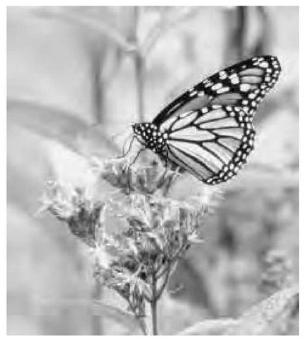 The Monarch butterfly is a chemically protected species that is mimicked by the Viceroy. This is known as Batesian mimicry.