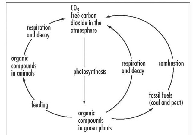 The carbon cycle, one of the main biogeochemical cycles that processes and transfers nutrients from organisms to their environment.