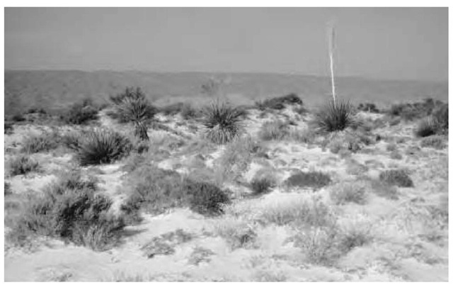 Cuatracienagas dunes in Mexico showing an example of the biodiversity of plants found in the xeric conditions of gypsum sands and deserts.