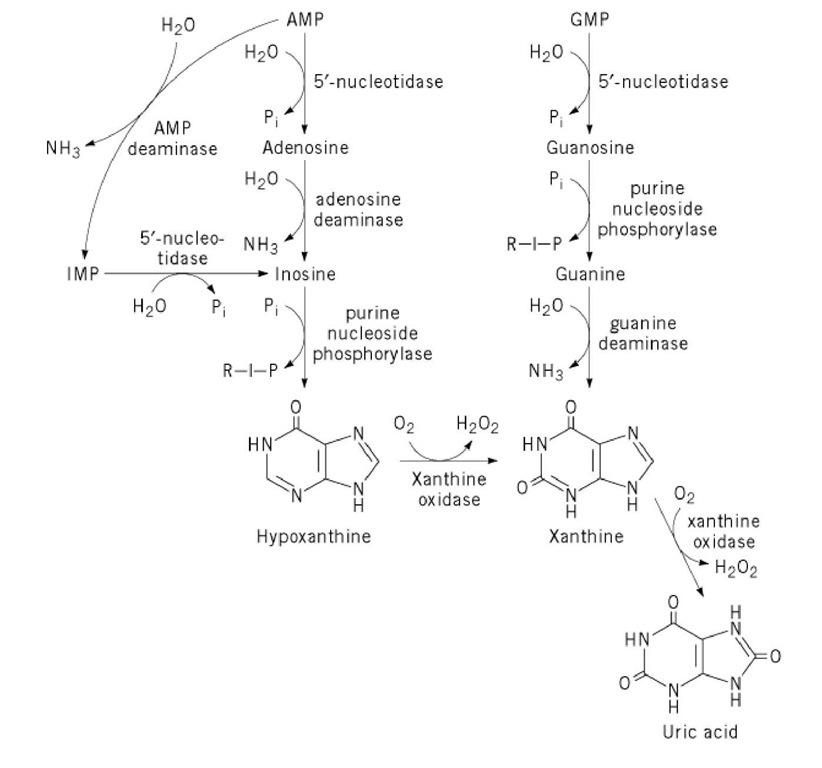 Uric Acid Pathway Purine Ribonucl...