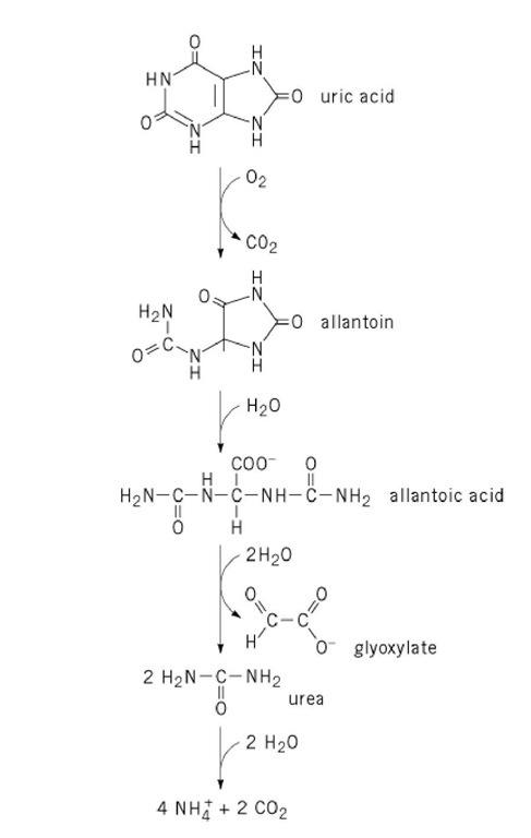Uric Acid Pathway Purine Ribonucleotide ...