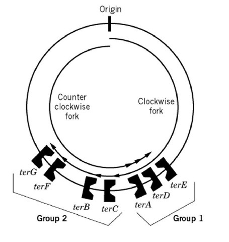 Location and orientation of seven ter sites on the E. coli chromosome (6).