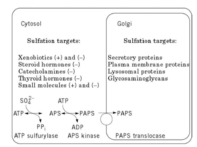 Schematic diagram of the intracellular localization of sulfation reactions and targets in a typical mammalian cell. In the cytosol, brackets indicate whether sulfation leads to activation (+) or inactivation (-). An overview of PAPS synthesis and localization is also shown at the bottom. Xenobiotics refer to exogenic products administered to the cell, such as drugs.