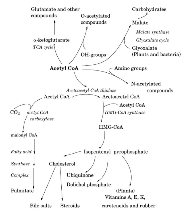 The central role of acetyl CoA in biosynthetic pathways.