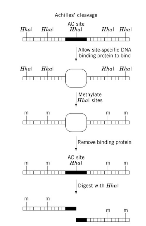 diagram of the method used to prevent restriction enzyme digestion at all