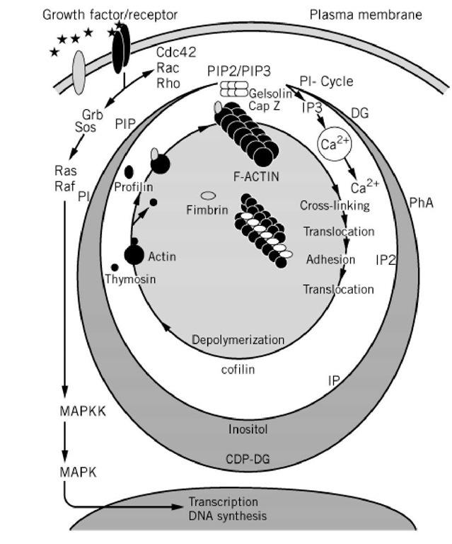 Actin Binding Proteins Part 1 Molecular Biology
