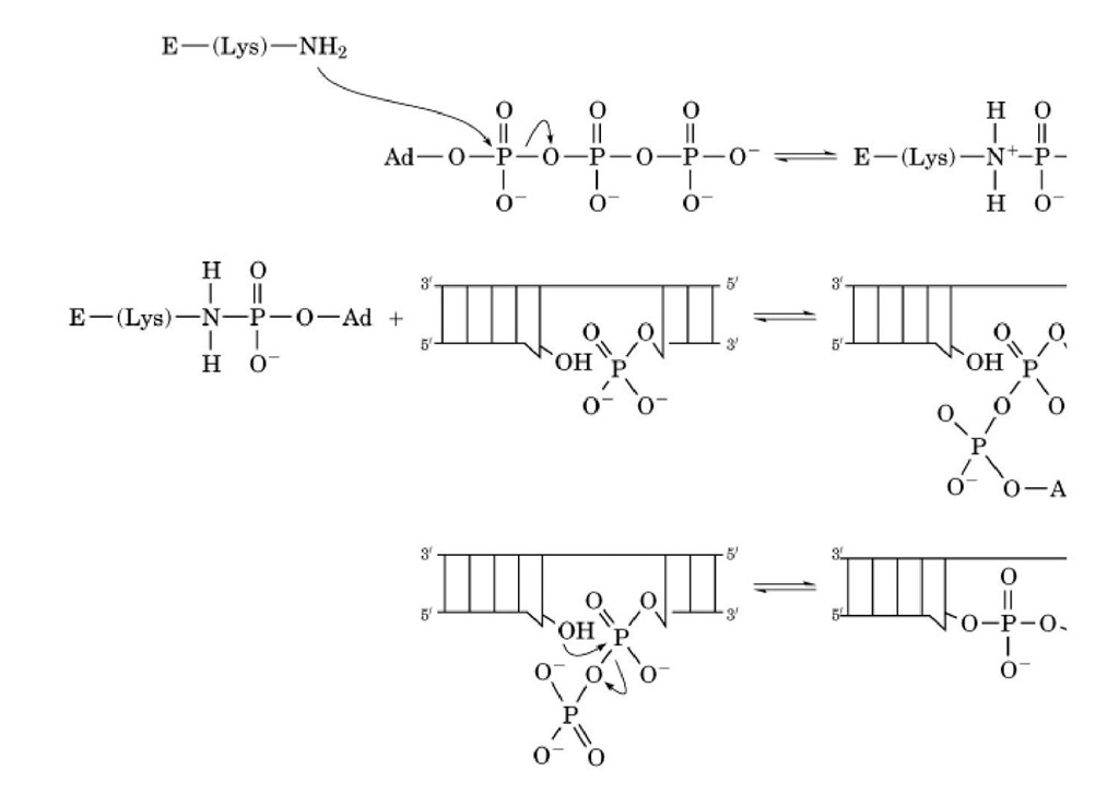 Mechanism for DNA and RNA ligases. The catalytic reaction begins with ATP-dependent adenylylation of the adenine; E, a ligase.