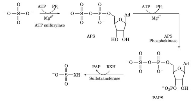 Biosynthesis of 3' -phospho-adenosine-5' -phosphosulfate (PAPS). The first step in the biosynthetic pathway is adenylylation of sulfate to generate adenosine-5 ' -phosphosulfate (APS).