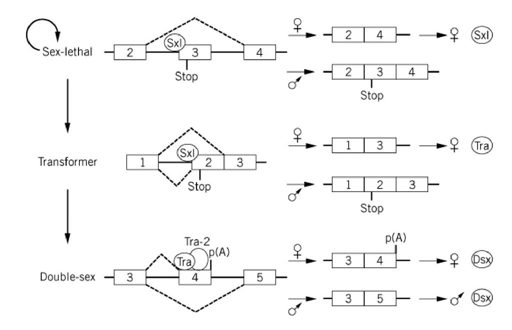 How is sex determined by alternative splicing cascade