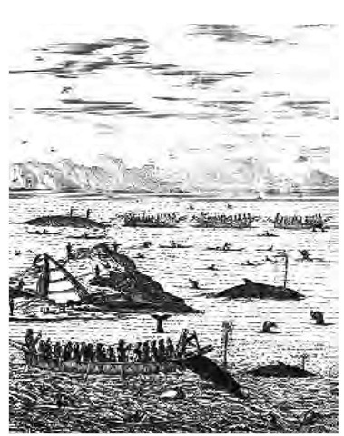 Whaling was a special occupation practiced mainly in northwest Alaska. The whaling umiaks were led by a captain and chief harpooner. This eighteenth-century drawing depicts whaling off the coast of Greenland.