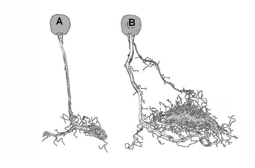 Growth of synaptic terminals in the sensory neuron of Aplysia after sensitization. The Fig. 1.11 was redrawn in accordance with the data [77].