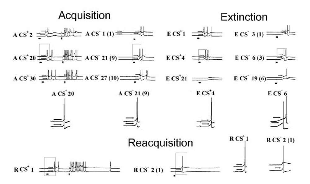 """Representative intracellular recordings of neuronal activities during acquisition (letter A), extinction (letter E) and reacquisition (letter R) of the neuronal analog of a classical conditional reflex. In each frame, at the top - activity of the neuron LPa3, at the bottom - RPa3. The arrows indicate thresholds. The threshold was measured from the membrane potential level to the point of maximal curvature at the leading front of the AP. The number of CS+ at each exposure is indicated. For the responses to the CS"""" the number of the preceding CS+ is indicated (in the brackets - the ordinal number of the CS""""). Sections marked in A CS+ 20, A CS"""" 21, E CS+ 4, E CS"""" 6, R CS+ 1 and R CS"""" 2 were magnified (X 1.8) and are presented at the end of acquisition, extinction and reacquisition. The real amplitudes of the APs are shown only in the magnified responses. CS+ - ellipsis, US vertical rectangles, CS"""" - horizontal rectangles. Calibration, 10 mV (trial A CS"""" 1). The Fig. 1.18 was redrawn in accordance with the data [1259] Methods. The training procedure consisted of the elaboration of a neuronal analog of classical conditioning. Acquisition consisted of 25-35 combinations of the CS+ and US and 8-15 presentations of the CS"""". The interval between the CS+ and US was 1s. The CS"""" was never paired with the US and was presented every one to four combinations over the course of training. An extinction series (after a 5-10 min break) consisted of 15-20 presentations of the CS+ and 6-12 presentations of the CS"""". Reacquisition (after a 20 min break) consisted of 5-15 combinations of the CS+ and US and 2-6 presentations of the CS"""" . Properties of our neuronal model of learning were similar to the properties of a well-known behavioral conditioned reflex of the defensive closure of the pneumostome in Helix [810]."""