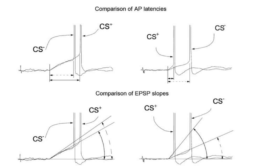 Weak interdependence between AP thresholds, AP latencies and EPSP slopes. Responses of mollusk neuron RPa3 to the CS- and CS+ after training are aligned at the point of the beginning of the EPSP. Two examples are shown at the left and at the right. At the top, imprecise changes of the AP latency in the responses to the CS- and the CS+ are shown. At the bottom, imprecise changes in the EPSP slope are demonstrated. Methods of measurement of AP latency and EPSP slope are indicated.