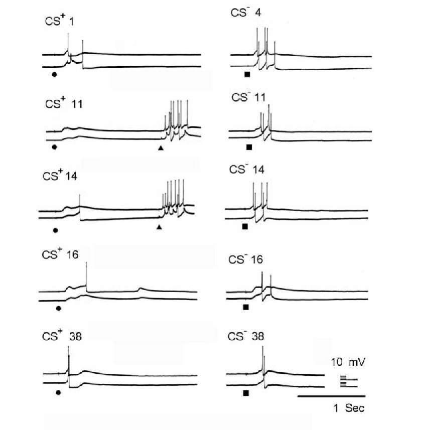 Intracellular recordings of neuronal responses during elaboration of a local instrumental conditioned reflex with the trained neuron RPa2 (top in each frame) and the control neuron LPa3 (bottom). At the left: the number of the CS+ is indicated for each exposure. At the right: the responses to the CS-. Calibrations are in the figure. Stimuli 11 and 14 produced incorrect responses and painful US were presented.