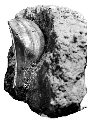 7. One of the original Iguanodon teeth found by the Mantells