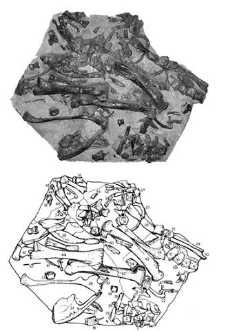 8. Photograph and sketch of 'Mantel-piece', a partial skeleton discovered in Maidstone, Kent, in 1834