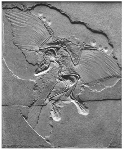 13. A well preserved Archaeopteryx specimen, discovered in 1876 (approx 40 cm long)