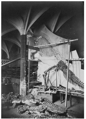 15. Iguanodon being reconstructed at the Museum of Natural History, Brussels, in 1878. Note the cassowary and wallaby skeletons used for comparison.