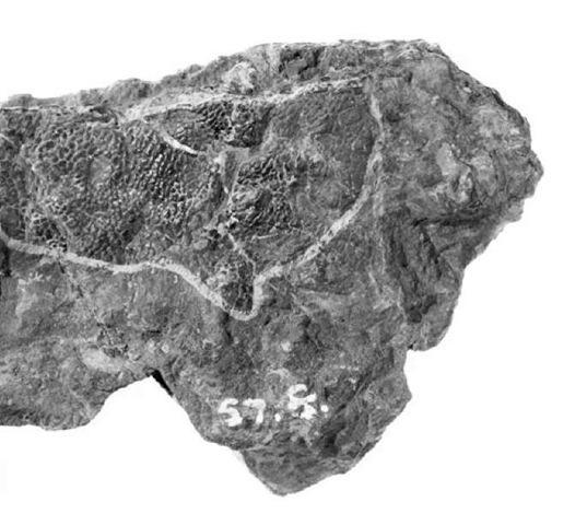 23. Iguanodon skin impression