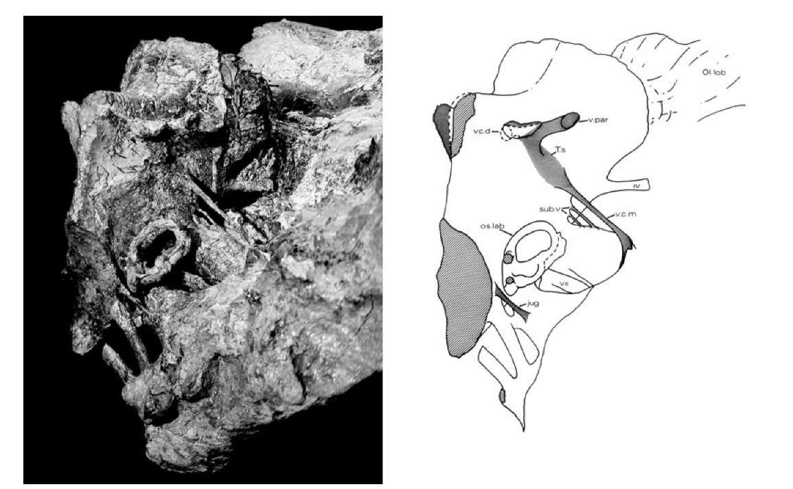 25. Left: oblique view of the natural cast of the brain cavity of Iguanodon. Right: line drawing of the brain cavity showing ear structures, nerves, blood vessels and olfactory lobes.