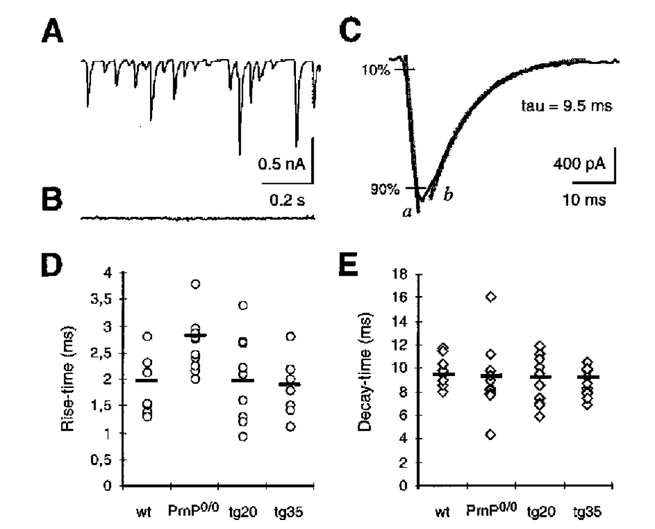 Presynaptic PrPC expression modulates the kinetics of inhibitory postsynaptic currents (IPSC). (A), Spontaneous IPSCs from a Purkinje cell of a 10-d-old wild-type mouse using the patch-clamp technique, as described (32) (B), Using the effect of 10 ^M bicucullin, a y-aminobutyric acid A (GABAA) receptor blocker, it is shown that the synaptic currents are inhibitory GABAA receptor-mediated conductances. (C), rise time and decay time in wildtype IPSCs. During rise time, there is a linear increase of GABAA receptor-mediated current from 10 to 90% of the maximum (gray line a). The decay time (t) is calculated from the kinetics of an exponential function (gray line b) that shows the best fit to the actual decay of the current. (D), Rise time in WT, Prnp0/0, Tg20, and Tg35. Shown is the mean of results from each of 10 measurements in Purkinje cells of 9-12d-old animals. Each point corresponds to the rise time of inhibitory postsynaptic currents of a Purkinje cell (mean of the rise time of 20 consecutive IPSCs for each cell). The mean of all measurements is shown as black line. The IPSC rise time is significantly prolonged in Prnp0/0 mice compared to wild-type mice (p = 0.001, t-test according to Welch). No significant differences were found among the rise times of wild-type, Tg20, and Tg35 cells. (E), Means of the decay time of IPSCs in wildtype, Prnp0/0, Tg20 and Tg35. There are no differences among these mouse lines.