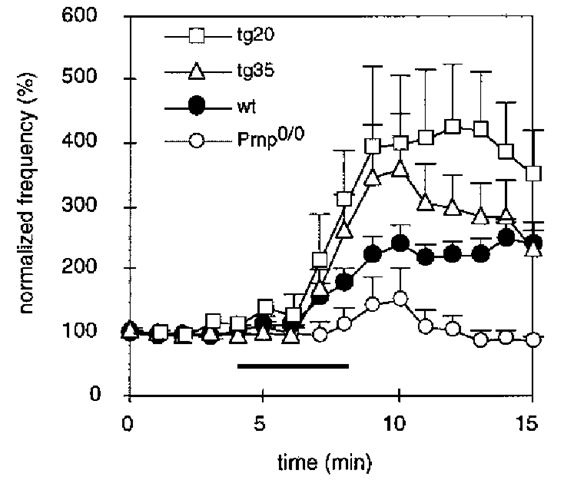 Enhancement of inhibitory synaptic activity by hydrogen peroxide is related to the amount of PrPC at the presynaptic plasma membrane. Effect of 0.01% H2O2 on the frequency of inhibitory postsynaptic currents in the different mouse lines. Each point represents the mean ± SEM sIPSC frequency in 1-min intervals normalized to the values before H2O2 application of wild-type (n = 14), Prnp0/0 (n = 21), Tg35 (n = 15) and Tg20 (n = 4) mouse Purkinje cells. The bar indicates the time during which H2O2 was applied. The application of H2O2 led to a marked enhancement of synaptic activity in wild-type mice, there is no comparable effect in Prnp0/0 mice. In transgenic mice that overexpress PrPC on a Prnp0/0 background in all neurons (Tg35), the sIPSC frequency increase after H2O2 application is rescued. Also, PrPC-reconstituted mice, which express PrPC in cerebellar interneurons, but not in Purkinje cells (Tg20), show a rescue, indicating that the presynaptic PrPC expression is important for the rescue of the H2O2 effect on IPSC frequency.