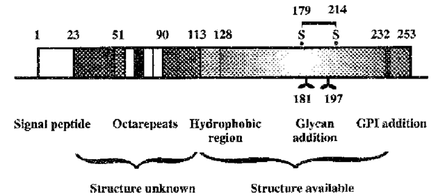 Schematic representation of the prion protein amino acid sequence. Details are taken from the mouse sequence, but the overall features are shared by all prion proteins. Numbers along the scheme indicate the amino acid positions of each feature and a correlation with the known three-dimensional structures is given below. The position of the single disulphide bond and the glycosylation sites are indicated.