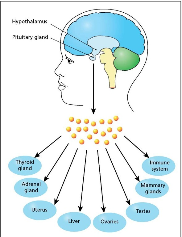 The human endocrine system is controlled by the hypothalamus, which regulates the production and release of various hormones from the pituitary gland. The pituitary hormones, in turn, regulate other glands, tissues, and organs of the body.