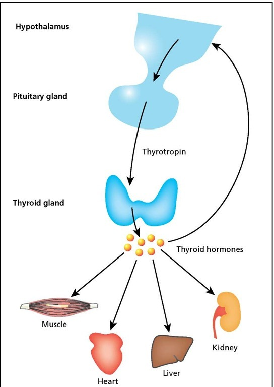 Regulation of the thyroid gland. The hypothalamus instructs the pituitary gland to release thyrotropin, leading to secretion of thyroid hormones, which stimulate the activity of several organs. Thyroid hormone levels are monitored by the hypothalamus. When they get too high, thyrotropin release is reduced or stopped.
