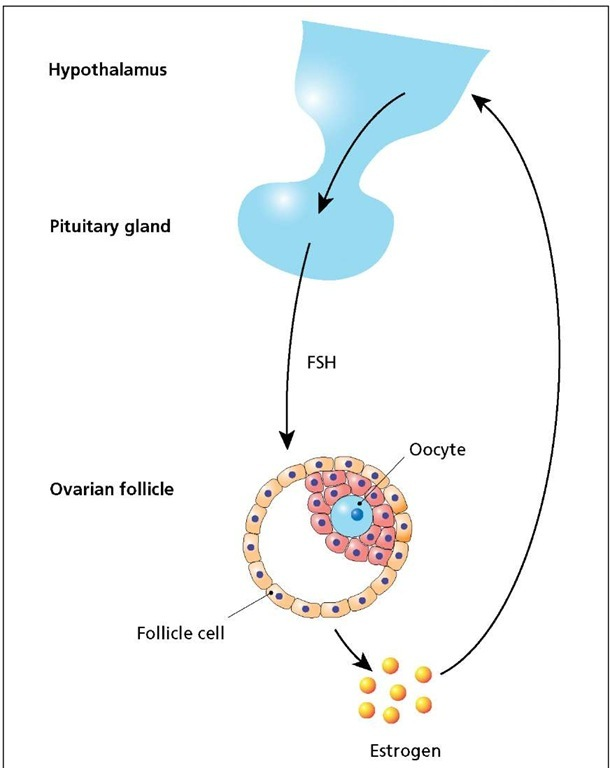 Regulation of the ovarian cycle. The hypothalamus instructs the pituitary gland to release follicle-stimulating hormone (FSH), promoting maturation of ovarian follicle cells, which in turn begin synthesizing and releasing estrogen. Low estrogen levels stimulate FSH release. High levels of estrogen inhibit the release of FSH but stimulate the release of a pituitary hormone (not shown) that initiates ovulation.