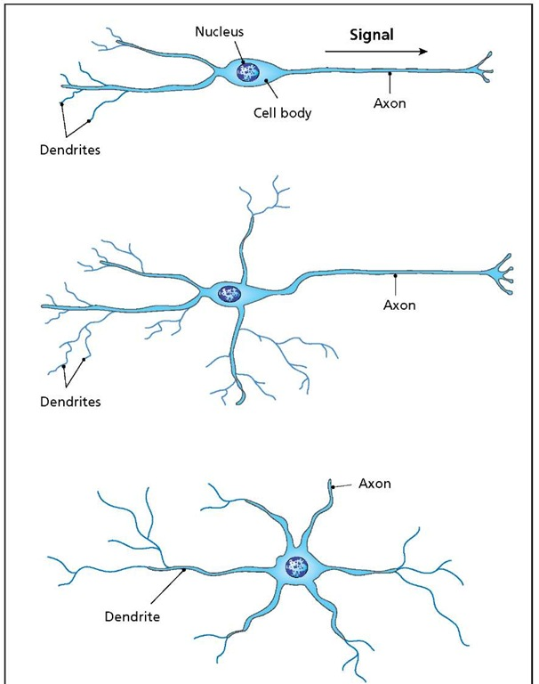 A neuron receives signals at its dendrites and passes them on to other neurons through its axon. Simple bipolar neurons (top) have the dendrites and the axon at opposite ends of the cell. Multipolar neurons (middle and bottom) have a complex dendritic structure that often surrounds the cell body (bottom). In such cases, the identity of the axon is not always obvious.