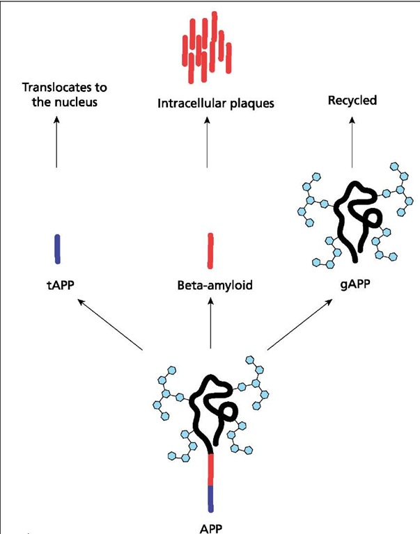Production of beta-amyloid. In Alzheimer's disease, APP is cut in two places, producing three fragments by a protease called presenilin or secretase: truncated APP (tAPP), beta-amyloid, and glycosylated APP (gAPP). The fate of tAPP is unclear, although it may translocate to the nucleus, where it acts as a transcription factor. Beta-amyloid collects in the intracellular space, where it forms the plaques that are characteristic of AD. The gAPP is recycled and does not contribute to the clinical symptoms of the disease.