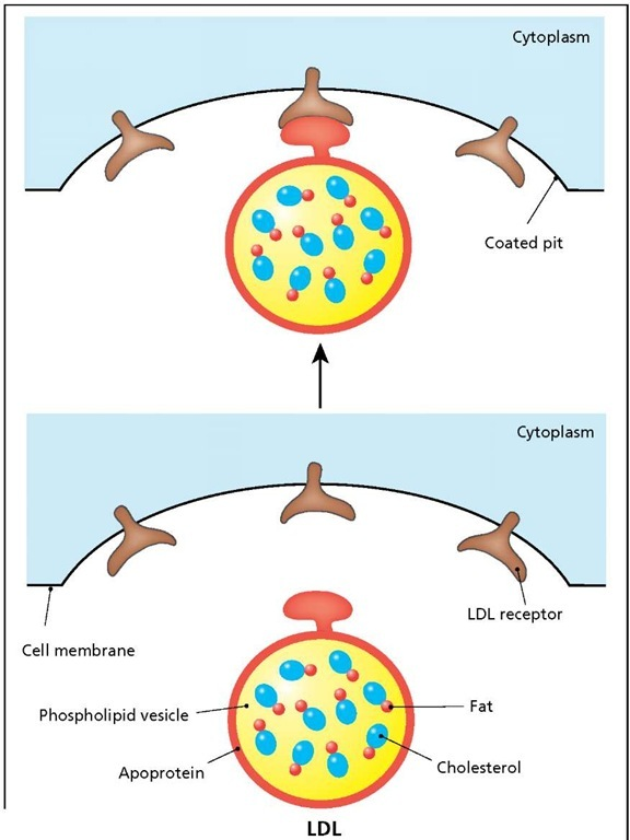 Structure and transport of low-density lipoprotein (LDL). LDL is a phospholipid vesicle (bubble) that transports cholesterol (combined with fat) from the liver to all the cells of the body. The vesicle is encased in apoprotein, which contains a recognition site for the LDL receptor. Binding of the apoprotein to the LDL receptor triggers the ingestion of the vesicle contents by a process known as receptor-mediated endocytosis.