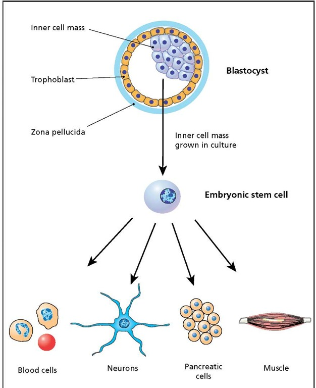 stem cells controversy An in-depth look on the controversy arising from the use of human embryonic stem cells.