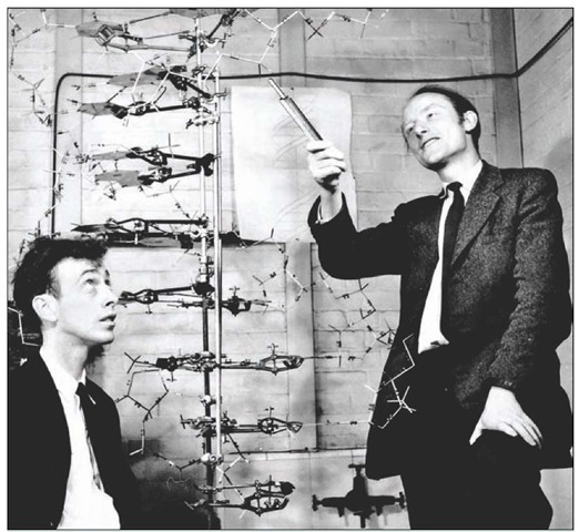 The discoverers of the structure of DNA. James Watson (b. 1928) at left and Francis Crick (1916-2004), seen with their model of part of a DNA molecule in 1953. Crick and Watson met at the Cavendish Laboratory, Cambridge, in 1951. Their work on the structure of DNA was performed with a knowledge of Chargaff's ratios of the bases in DNA and some access to the X-ray crystallography of Maurice Wilkins and Rosalind Franklin at King's College London. Combining all of this work led to the deduction that DNA exists as a double helix, thus to its structure. Crick, Watson, and Wilkins shared the 1962 Nobel Prize in physiology or medicine, Franklin having died of cancer in 1958.