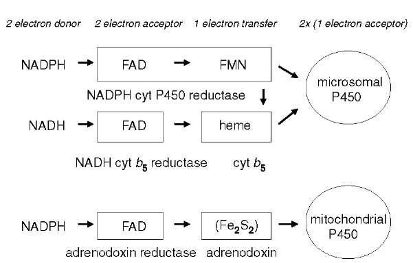 ecdysteroid biosynthesis