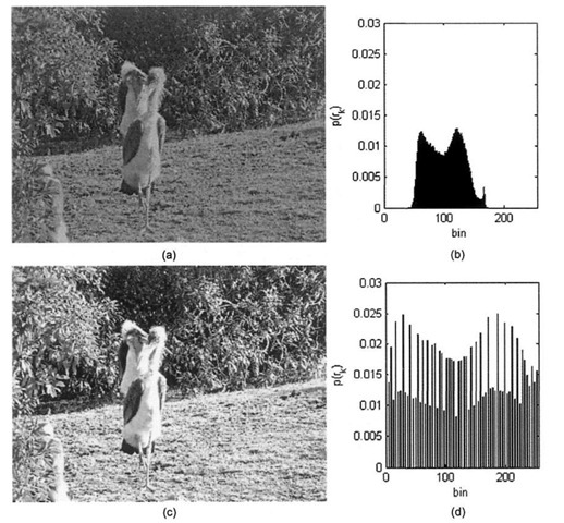 Histogram equalization, (a) Original image of birds at San Francisco Zoo. (b) Unprocessed histogram, (c) Histogram equalized birds image, (d) Equalized histogram, exhibiting an approximation to a uniform distribution across the range [0-255],